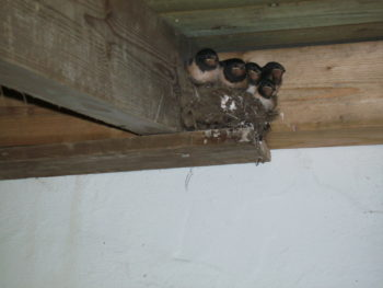 Swallows in the wood store