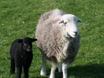 Herdwick with lamb