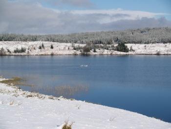 Whooper Swans on Lochenbreck Loch